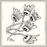laceflower